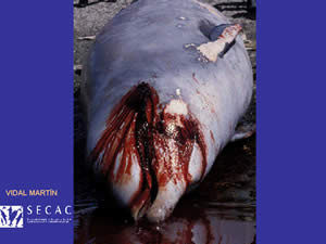 Dead Beaked Whale, Canary Island Stranding, Sept 2002